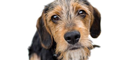 Hold hundene borte fra Pinjelarven