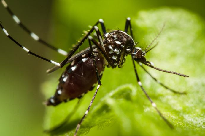 Ny myggpest plager det vestlige Málaga