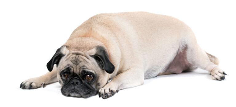 Ny behandling gir hjelp til gamle hunder med artritt