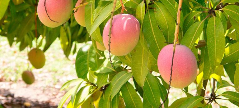Tropisk mango dyrkes i La Cala de Mijas