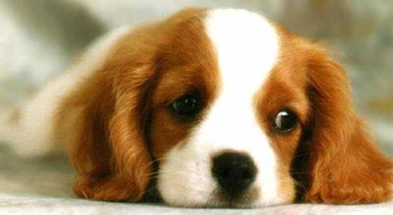 Allergier hos hund