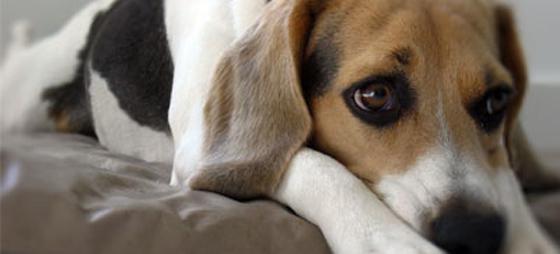Hjerteorm hos hunder