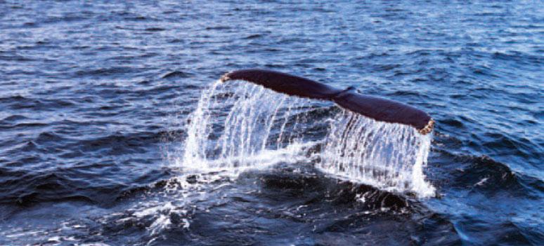 island-hval