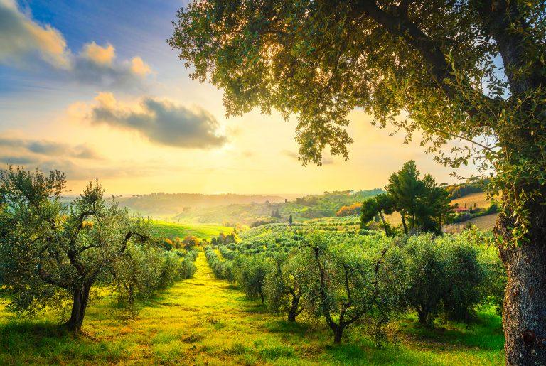 En guide til oliventreets splittede personlighet
