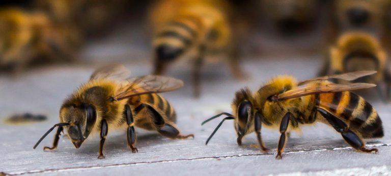 Hva kan bier og andre sosiale insekter lære oss om aldring?