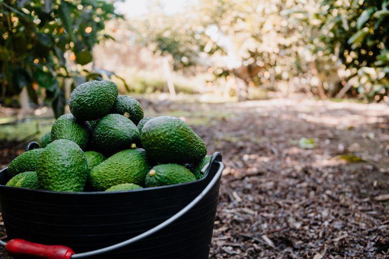 Mercadona kjøper 7000 tonn avokado fra Málaga leverandør